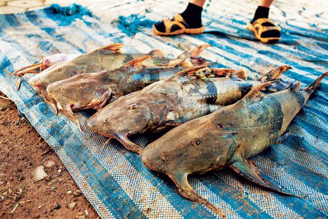 Catfish caught near the Don Sahong dam site