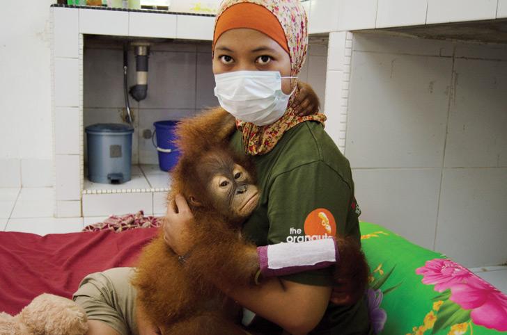 orangutan, sumatra, sumatran orangutan conservation programme, SOCP