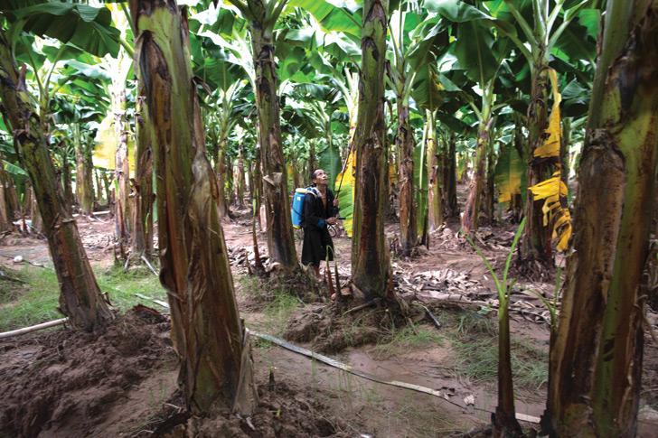 laos, banana, plantations