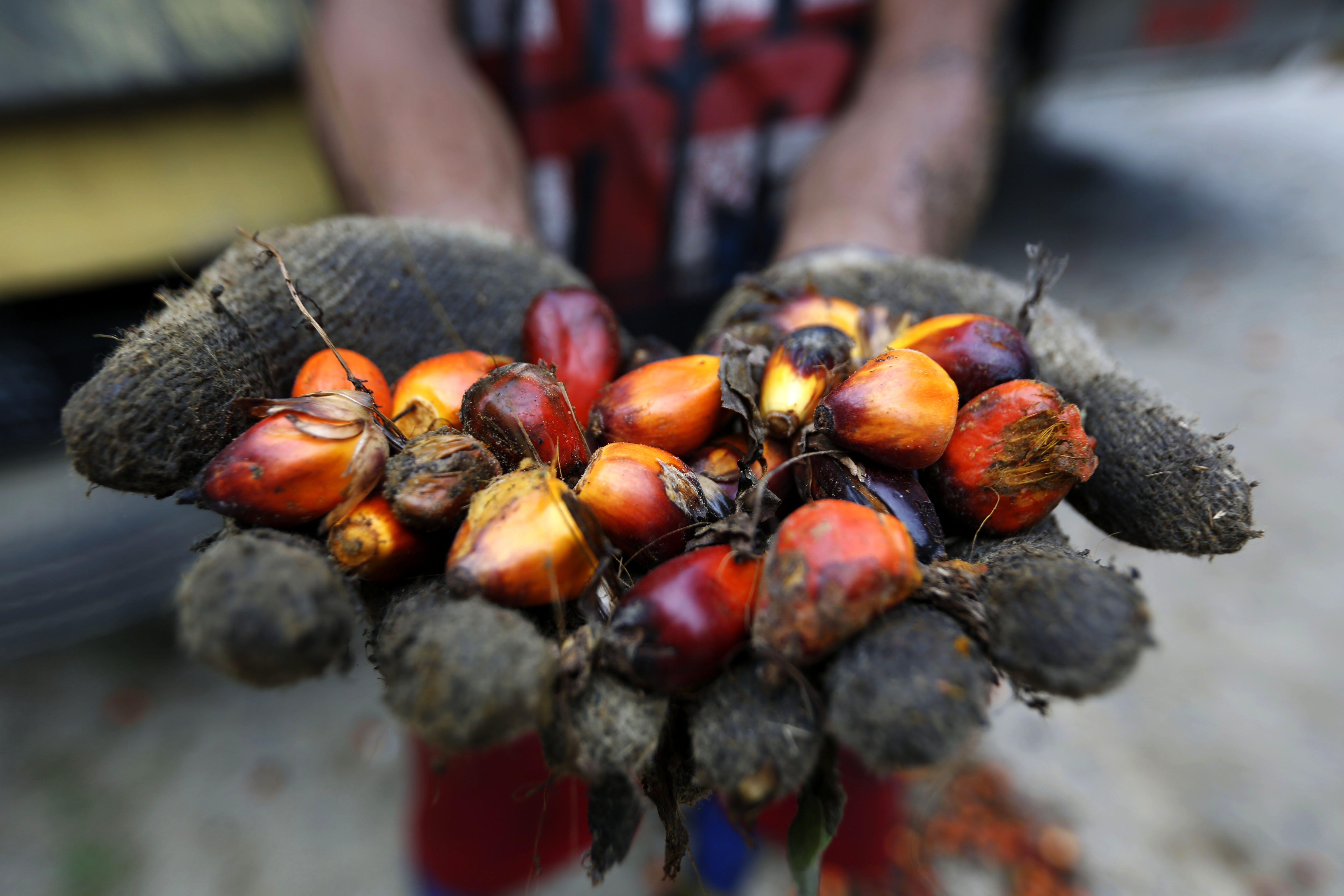 In the hand:  An Indonesian palm oil farmer displays some of the palm harvest, in Tamiang, Aceh, Indonesia.