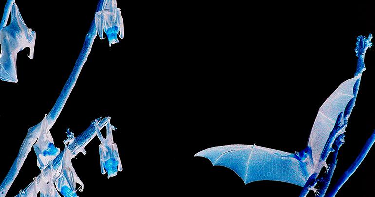 Almost a quarter of Southeast Asia's bats face extinction