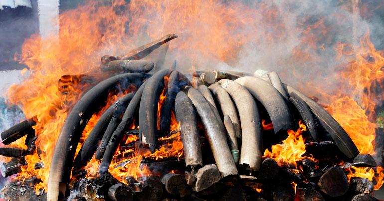 Myanmar_elephant-tusks_destruction_SEA-Globe-2018