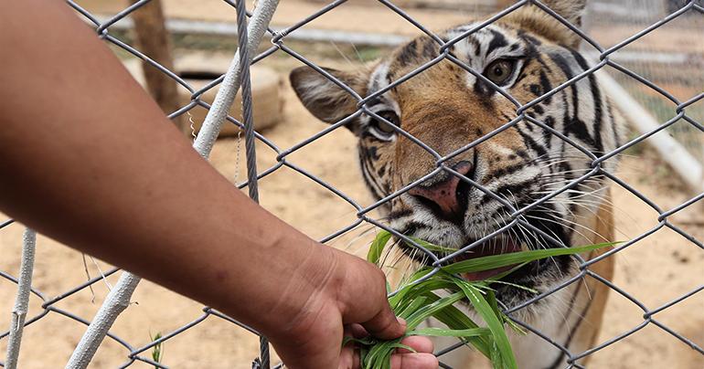 Thailand-wildlife_tiger_Southeast Asia Globe 2018
