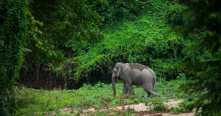 Thailand_Wildlife_Elephant_Asian_elephant_-_Huai_Kha_Khaeng_Southeast Asia Globe 2018