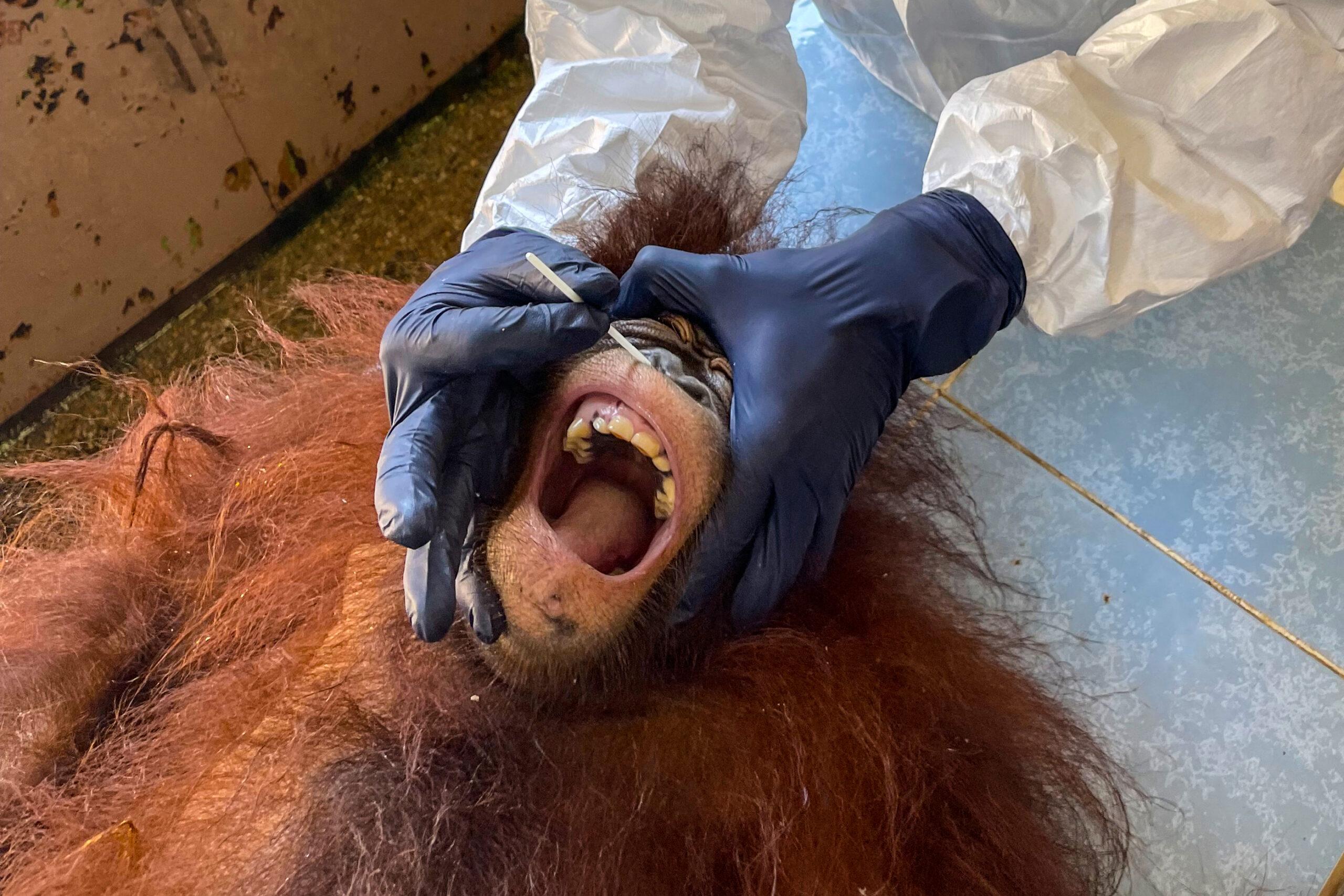 Testing times: Borneo orangutans get Covid swabs
